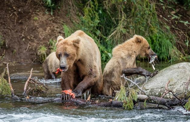 Moeder bruine beer met jong eet zalm in de rivier Premium Foto