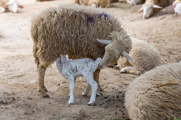Moeder-ooi houdt een waakzame bewaker over een lam dat aan het zogen is Premium Foto