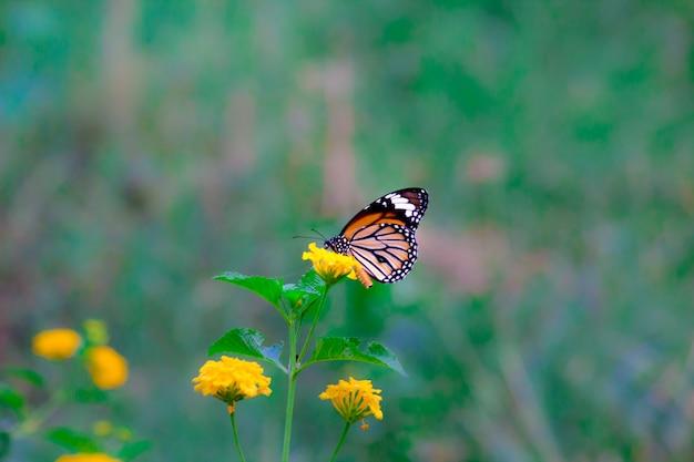 Monarchvlinder op de bloeminstallatie Premium Foto