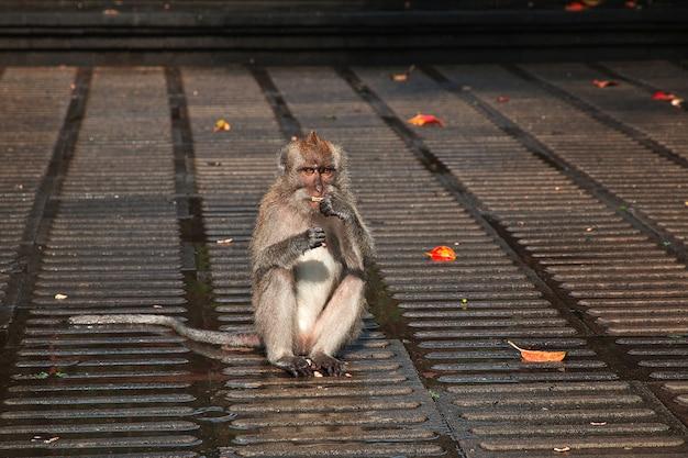 Monkey forest, bali zoo, indonesië Premium Foto