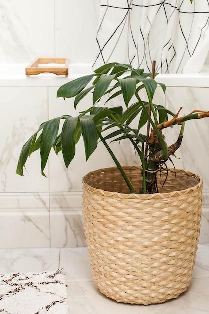 Monstera Kamerplant In Een Rieten Pot In De Badkamer De Leefruimte Verfraaien Met Groene Planten Hoge Kwaliteit Foto Premium Foto