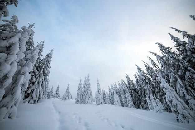 Moody winterlandschap met sparrenbos ineengedoken met witte sneeuw in koude bevroren bergen. Premium Foto