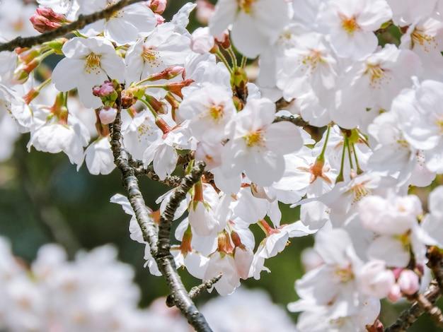 Mooi bloeide kersenbloesem bloemen Gratis Foto