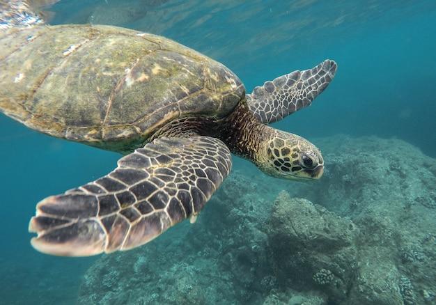 Mooi close-upschot van het grote schildpad zwemmen onderwater in de oceaan Gratis Foto