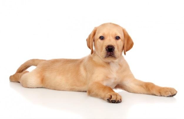Mooi die labrador retriever-puppy op witte achtergrond wordt geïsoleerd Premium Foto