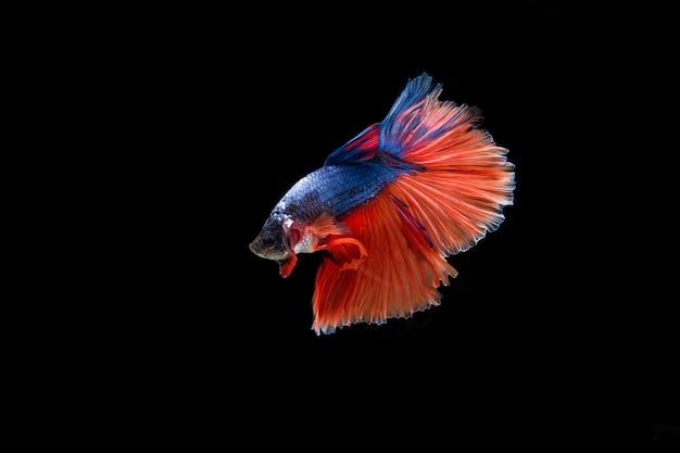 Mooi kleurrijk van siamese bettavissen Gratis Foto
