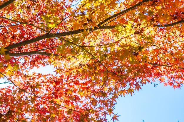 Mooi landschap met de boom van het esdoornblad in de herfstseizoen Gratis Foto