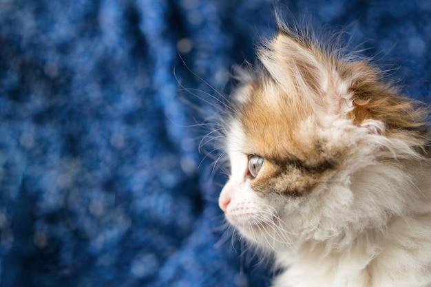 Mooi portret van een pluizig kitten op blauw Premium Foto