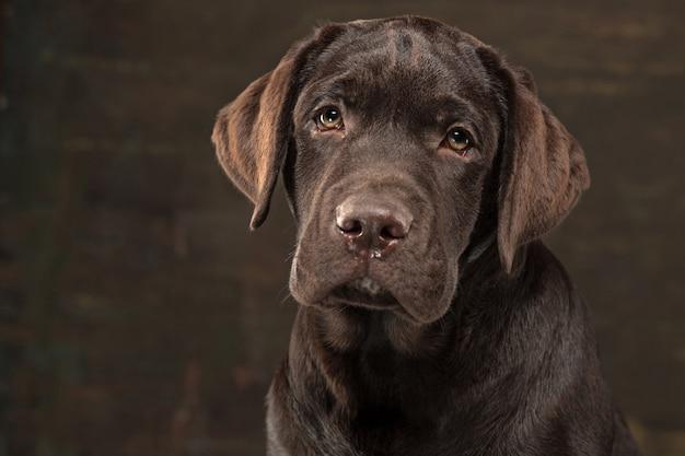 Mooi portret van een puppy van chocoladelabrador retriever Gratis Foto