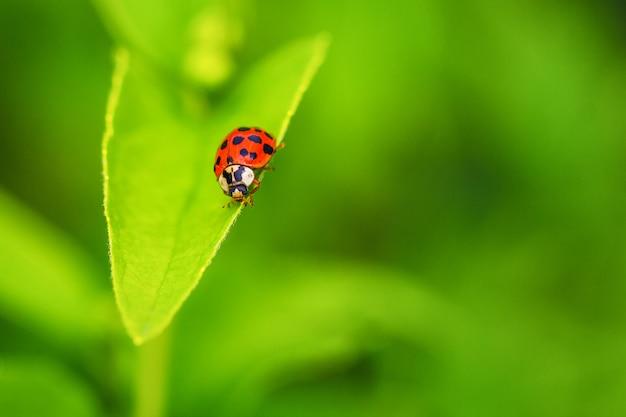 Mooi rood lieveheersbeestje die op een groen blad, mooie natuurlijke achtergrond kruipen. Premium Foto