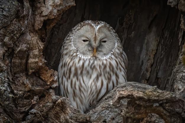 Mooi schot van de beroemde grijze uil uil die in een nest in hokkaido, japan rust Gratis Foto