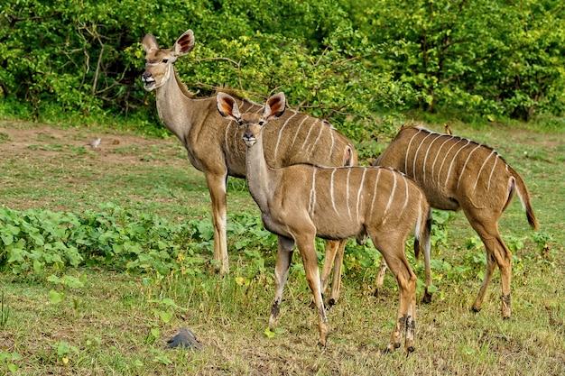 Mooi schot van drie kudu's die samen wandelen, omringd door de groene natuur tijdens daglicht Gratis Foto