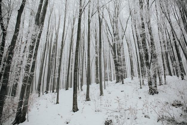 Mooi schot van een bos met hoge kale bomen bedekt met sneeuw in een bos Gratis Foto