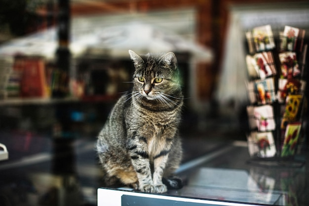 Mooi schot van een schattige grijze kat achter het raam van een winkel gevangen in poznan, polen Gratis Foto