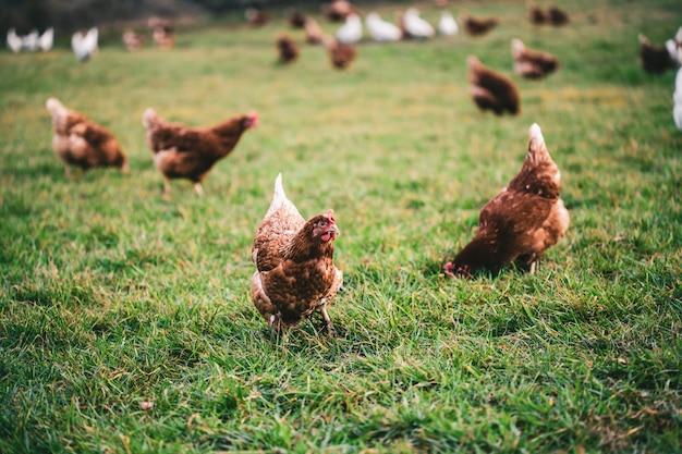 Mooi schot van kippen op het gras in de boerderij op een zonnige dag Gratis Foto