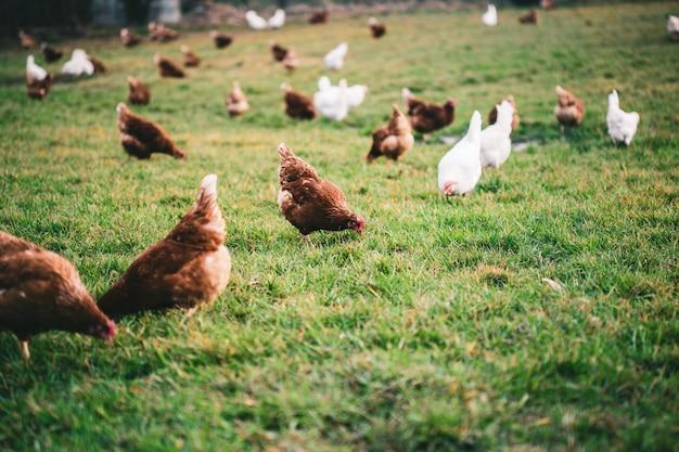 Mooi schot van kippen op het gras in de farm Gratis Foto