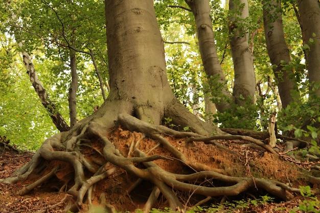 Mooi shot van de wortels van een oude boom met een dikke stam in het bos op een zonnige dag Gratis Foto