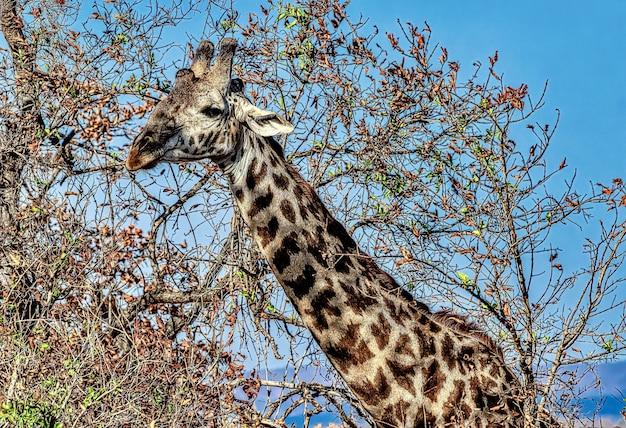 Mooi shot van een schattige giraf met de bomen Gratis Foto
