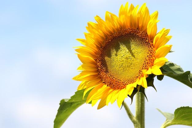 Mooi shot van een zonnebloem in het veld met de blauwe lucht op de achtergrond op een zonnige dag Gratis Foto