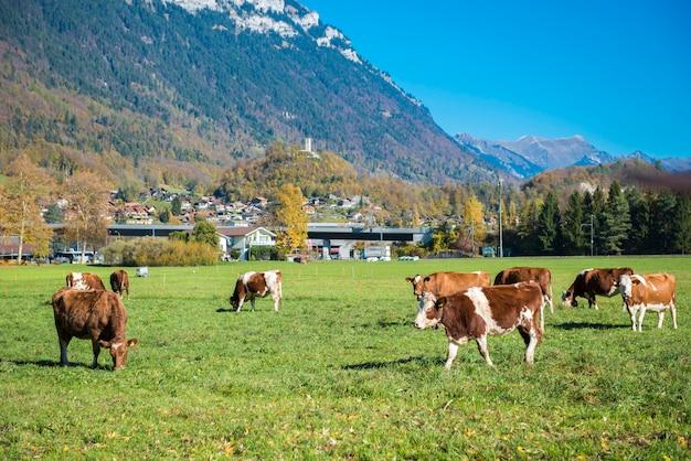 Mooi van alpenberg en vee en in de herfst in kanton interlaken Premium Foto