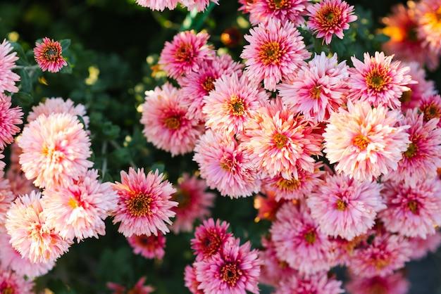 Mooie achtergrond van roze chrysantenbloemen in de tuin Premium Foto