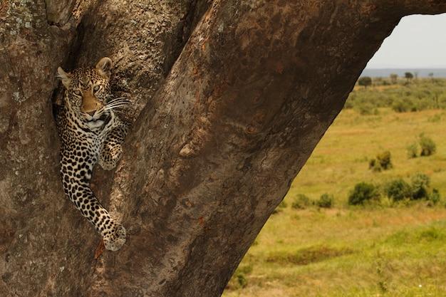 Mooie afrikaanse luipaard zittend op een grote boomstam in het midden van de jungle Gratis Foto