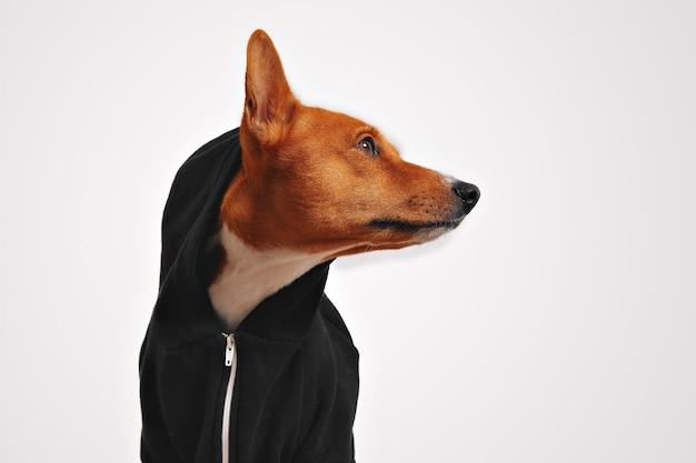 Mooie basenji-hond in zwarte casual hoodie met capuchon en vooruitstekend oor, zijwaarts kijkend met witte muren Gratis Foto