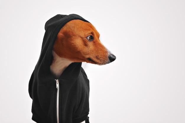 Mooie basenji hond in zwarte hoodie met capuchon opzij kijken met witte muren Gratis Foto
