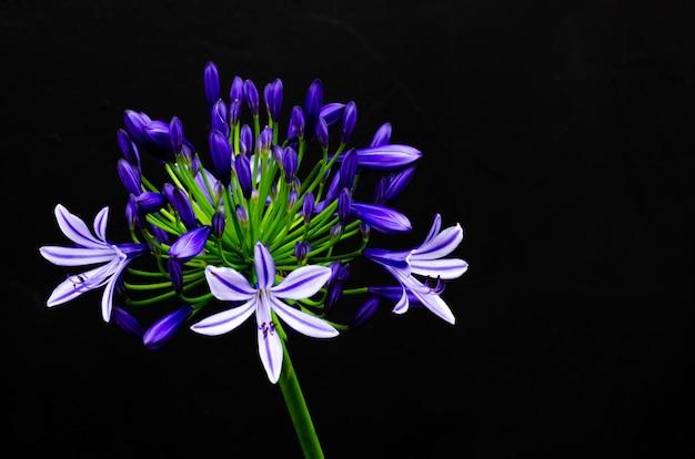 Mooie blauwe en purpere kleuren afrikaanse lelie die (kaap blauwe lelie) bloeien op dark Premium Foto