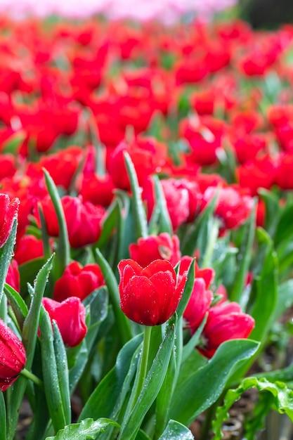 Mooie bloeiende bloemen in het park met dauwdruppels Premium Foto
