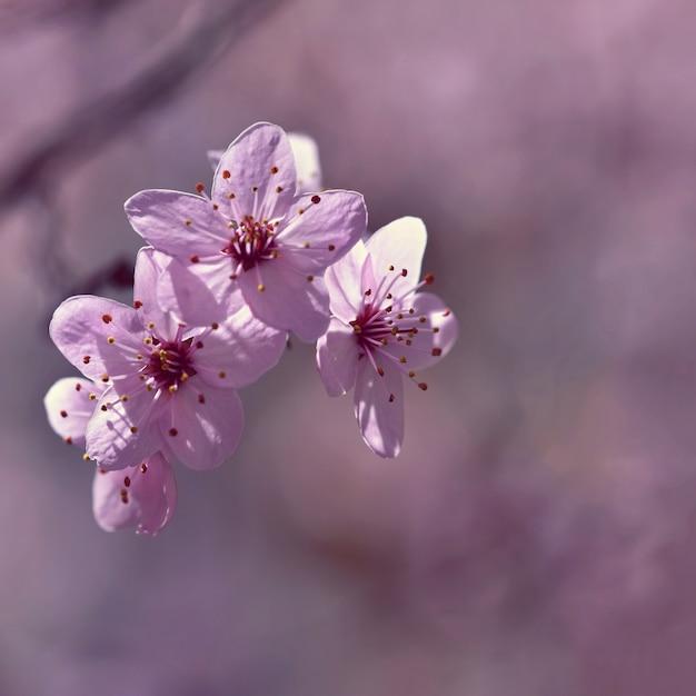 Mooie bloeiende japanse kers sakura. seizoen achtergrond. openlucht natuurlijke vage wi als achtergrond Gratis Foto