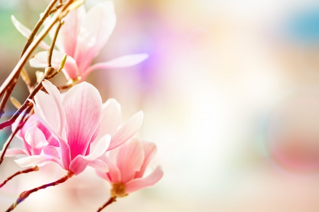 Mooie bloeiende magnoliaboom met roze bloemen. lente achtergrond. Premium Foto