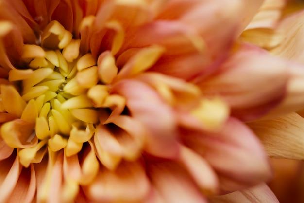 Mooie chrysanthemum macro Gratis Foto
