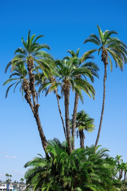 Mooie en hoge palmbomen in san diego Gratis Foto