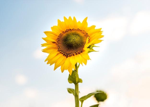 Mooie enige zonnebloemclose-up Gratis Foto