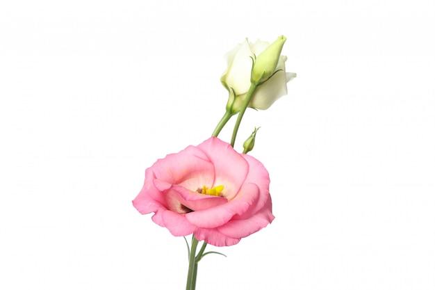 Mooie eustomabloemen die op wit worden geïsoleerd Premium Foto
