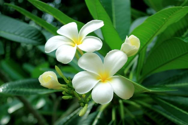Mooie frangipani (plumeria) bloem met de groene achtergrond van de bladerenaard Premium Foto