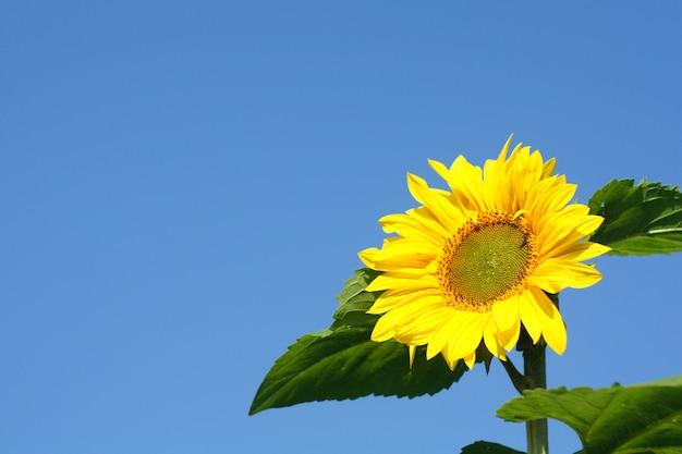 Mooie gele bloem van een zonnebloem tegen een heldere blauwe hemel. Premium Foto