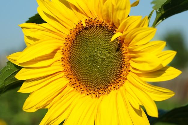 Mooie gele bloem van zonnebloem dichte omhooggaand. Premium Foto