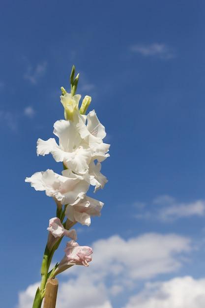 Mooie gladiolenbloem met blauwe hemel Premium Foto