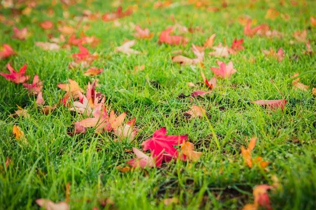 Mooie greensward openlucht de herfstaard als achtergrond van rode esdoornbladeren en droge bladeren gevallen Premium Foto