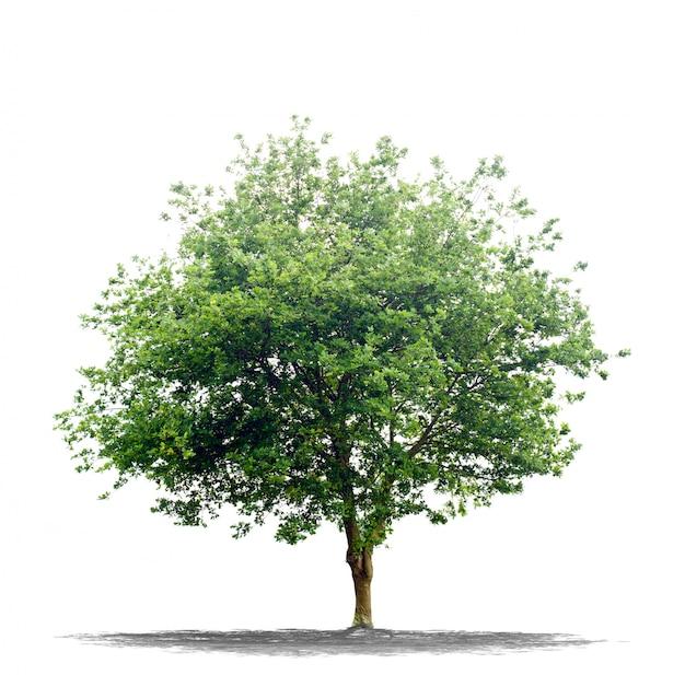 Mooie groene boom die op wit wordt geïsoleerd Premium Foto