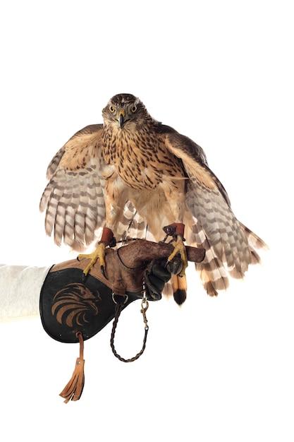 Mooie havikvogel Premium Foto