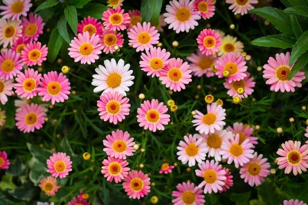 Mooie hoge hoek shot van roze margriet madeliefjes in een tuin onder het zonlicht Gratis Foto