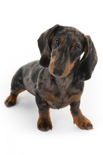 Mooie hond op zoek, miniatuur teckel Premium Foto