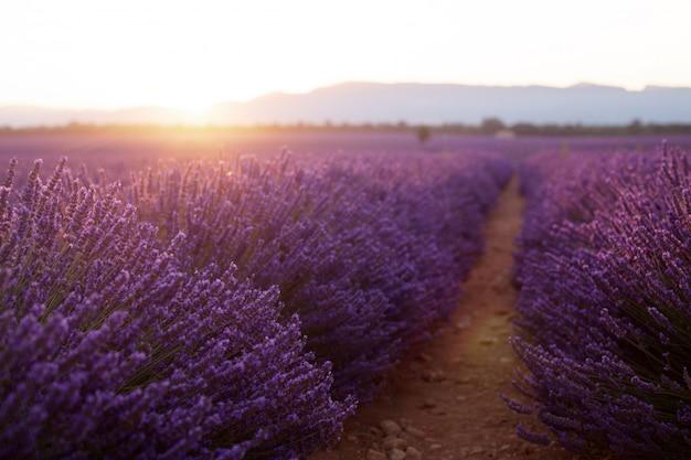 Mooie ijskoude velden bij zonsondergang. valensole, provence, frankrijk Premium Foto