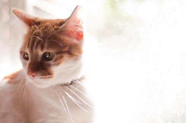Mooie katportret. kat met gele ogen. dame kat met pleidooi staar bij de kijker met ruimte voor reclame en tekst Gratis Foto