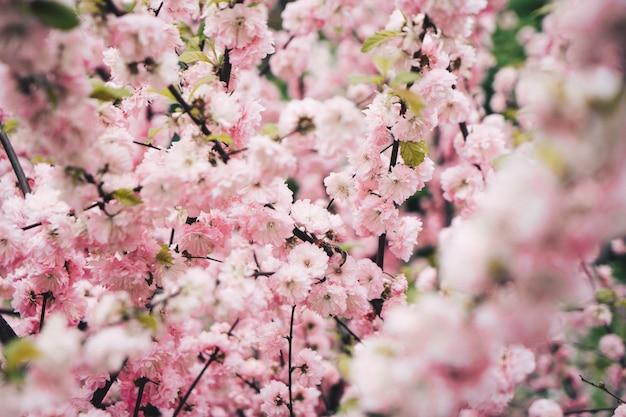 Mooie kersenbloesem op een kersenboom in een tuin Gratis Foto