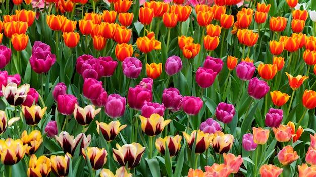 Mooie kleurrijke tulpen in tuinaard in de lente Premium Foto