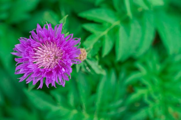 Mooie lila bloem met een kever op een groene achtergrond Premium Foto